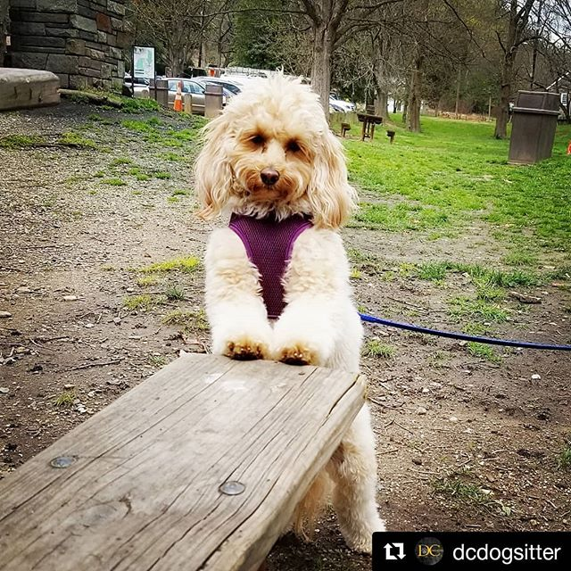 "#Repost @dcdogsitter (@get_repost) ・・・ ""I may be tiny, but don't underestimate me! This is my halfway point hiking the Western Ridge Trail today!"" - Nutella . . . . . #elevatethecare #dcdogsitter #instagramdogs #petstagram #dogs_of_instagram #puppylove #weeklyfluff #ilovemydog #doglovers #dogoftheday #dogsofig #doglover #doglife #instapet #lovepuppies #petsofinstagram #dogslife #puppies #bestwoof #petsagram #dogscorner #pup  #washingtondc #exposeddc #igdc #mydccool #acreativedc #streetmeetdc  #focalmarked"