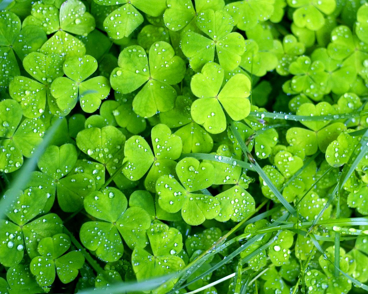 Holidays_St._Patrick_s_Day_Green_clover_015344_.jpg