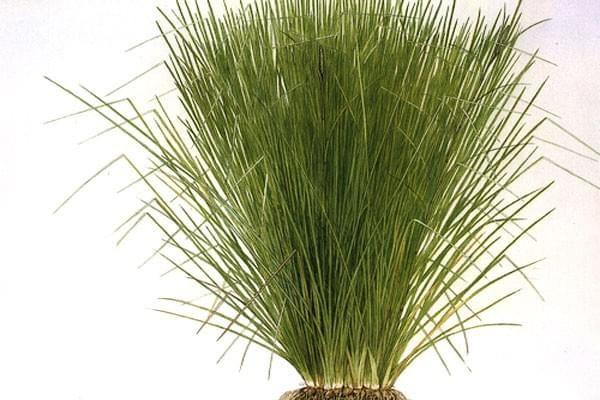vetiver_grass.jpg