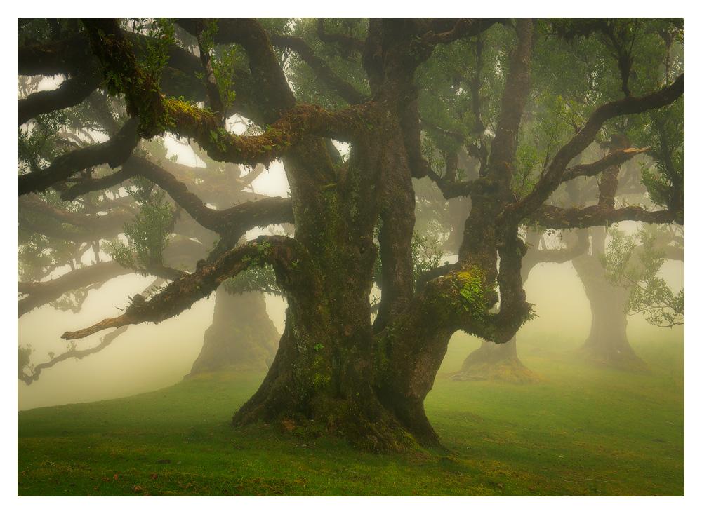 Fog Forest Fanal, Madeira