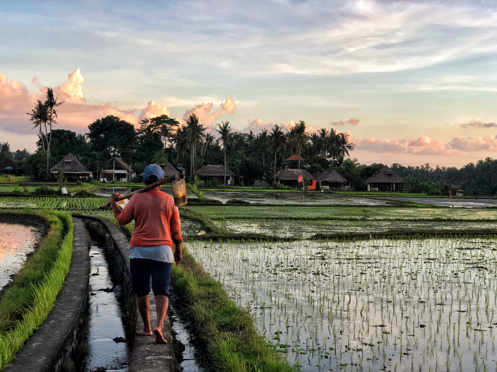 The locals at work on the rice paddies near Kakul Villa