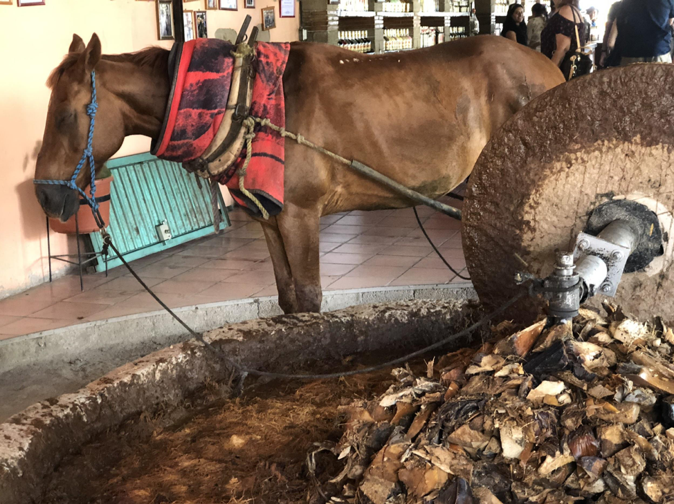 The horse, who only works about two days a week for a couple of hours, helps grind up the agave root into fibers.