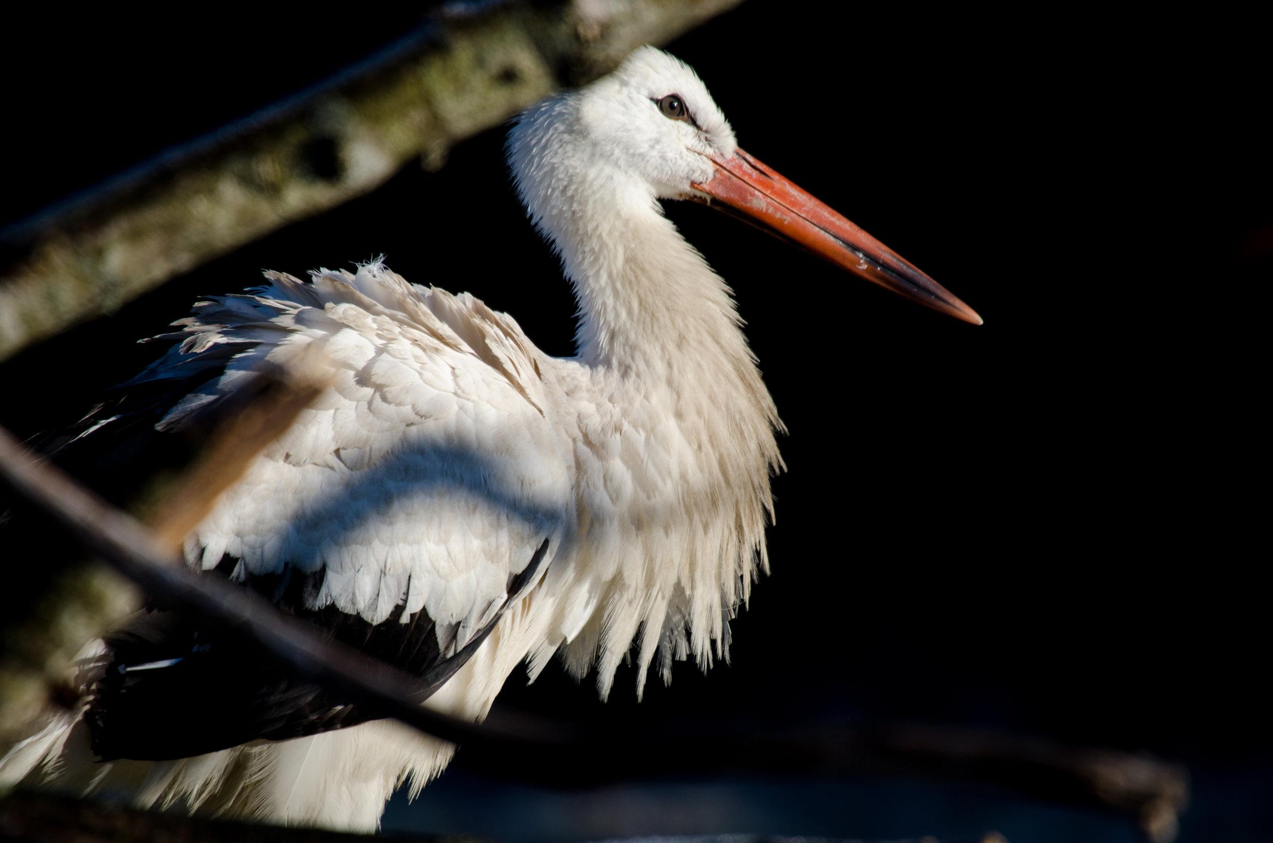 White Stork Knepp Pen.jpg