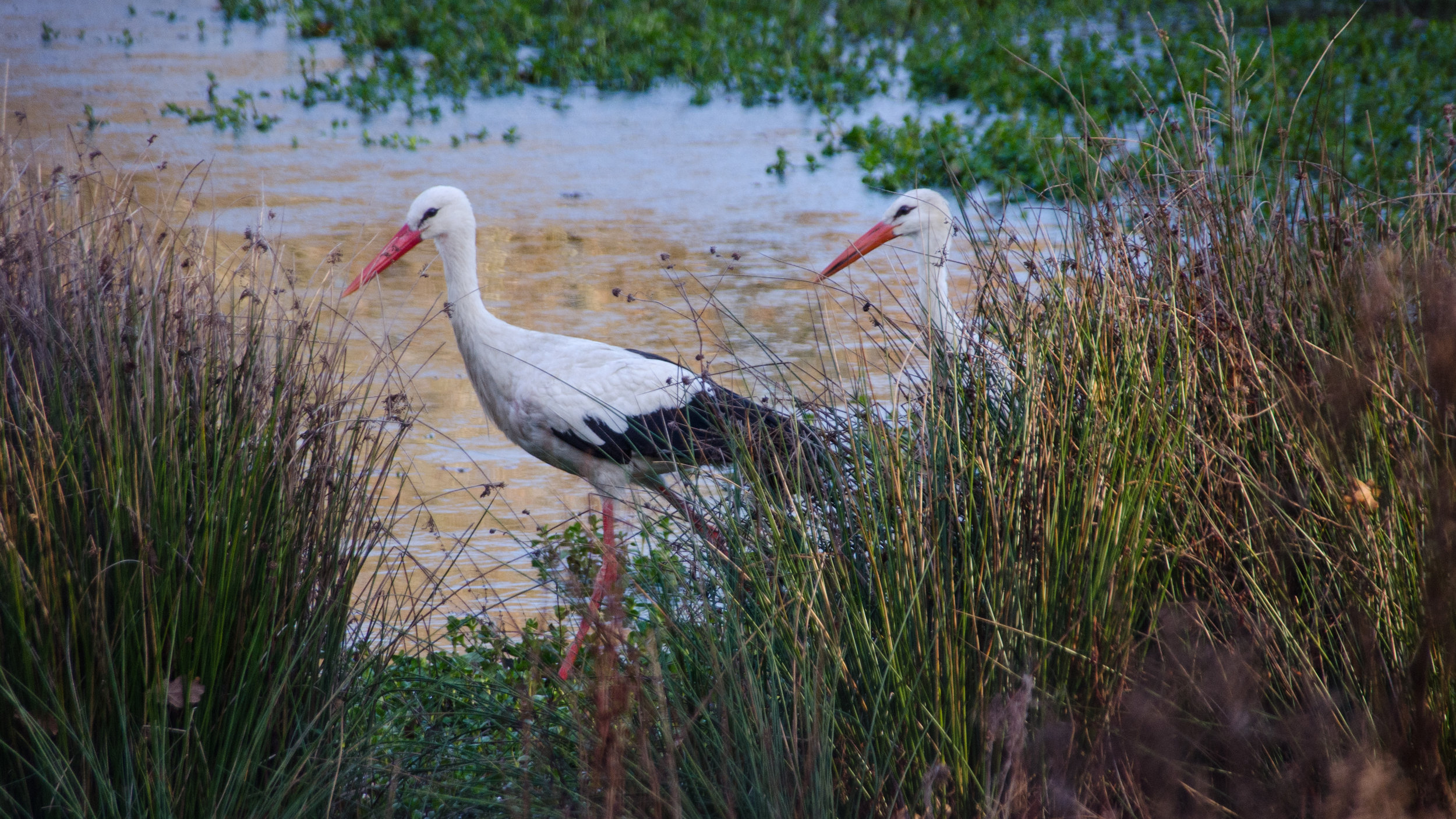 White Storks Knepp Pen.jpg