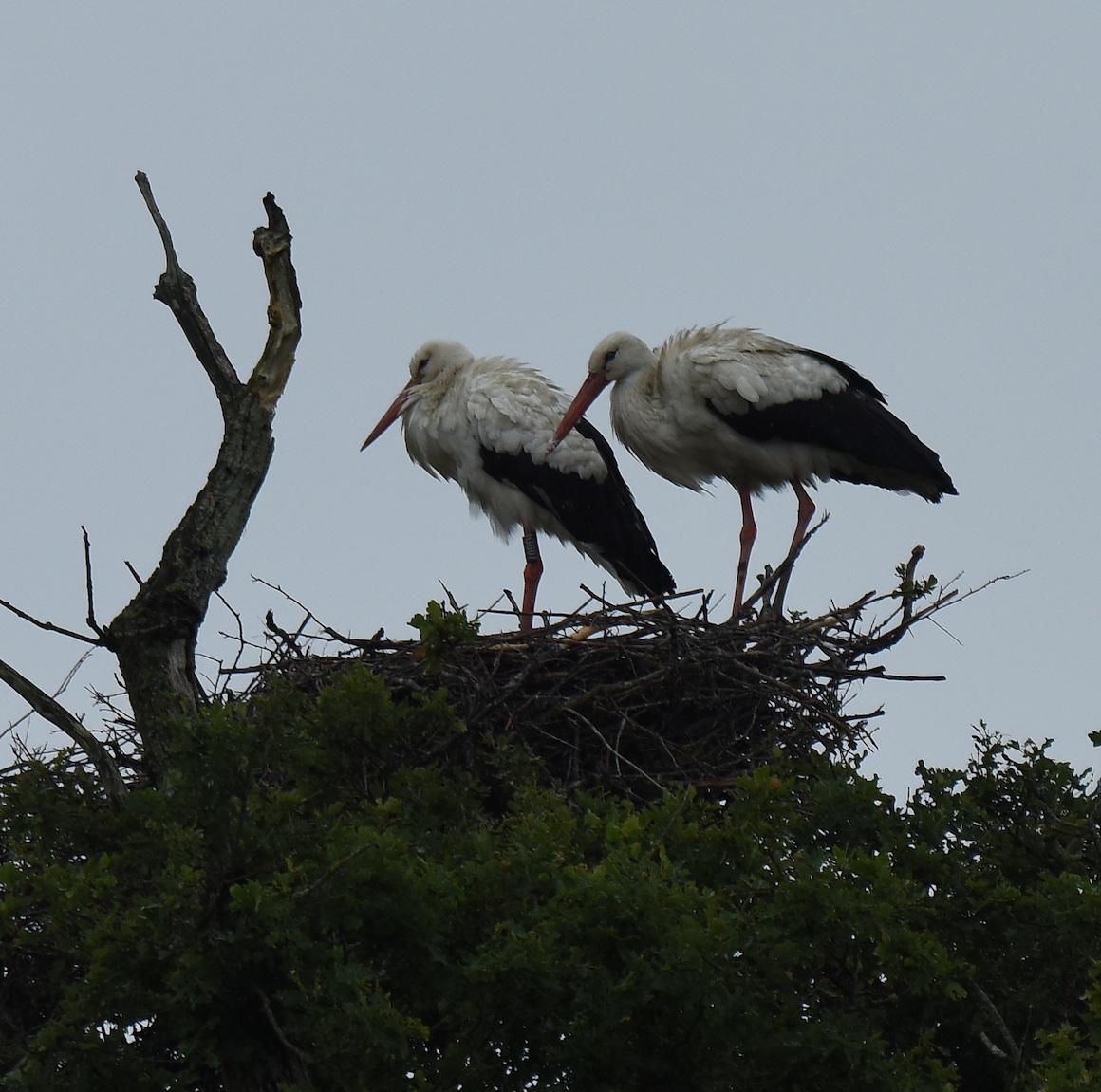 FBKnepp+2+on+tree+nest.jpg