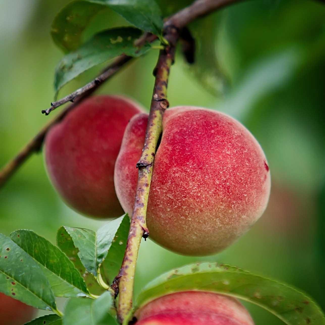 peaches-1128.jpg