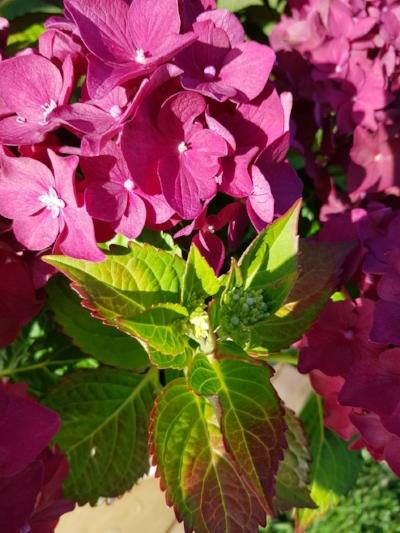 Hortensiaen fra i sommer er fortsatt i full blomstring.