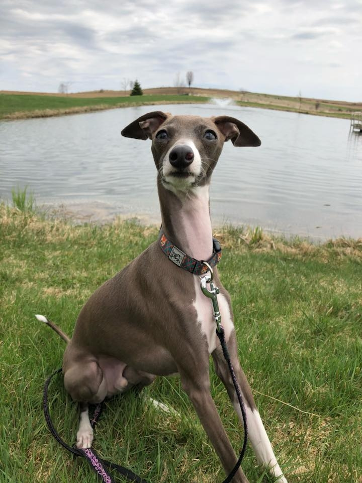 Italian Greyhound, Rain, made his debut in singles. - It's the first time in many years that GO has had an IG running in the trials. Hopefully Rain will be back in the fall.(photo by L Siddons)