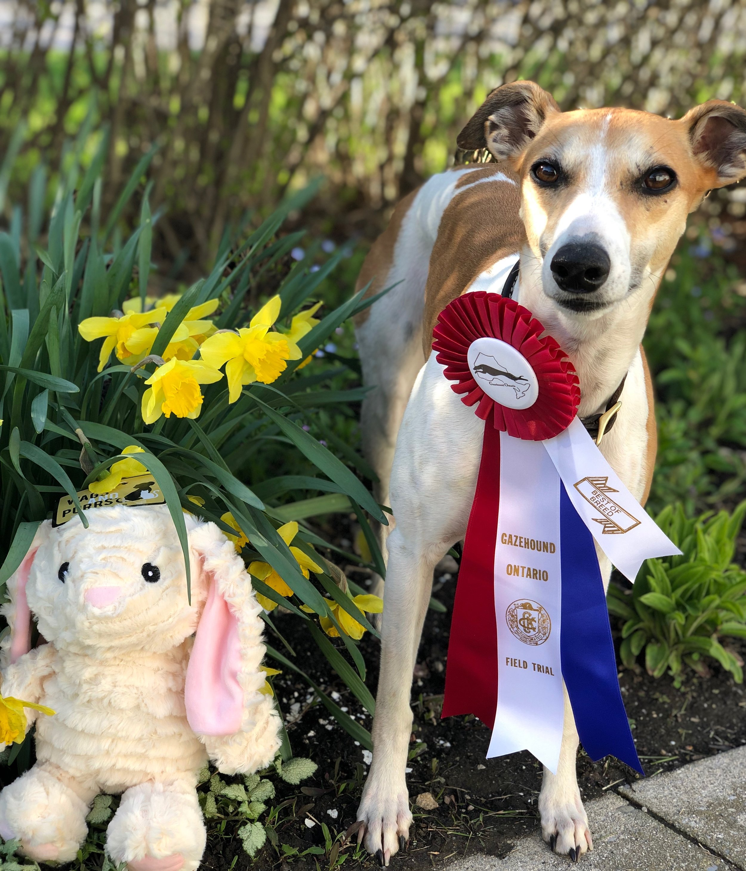 Brag first place and Best of Breed Sunday poses with her ribbon and trophy. Trophies were generously donated by Lori Siddons and Gordon Cheung.  (photo courtesy of Helen Ferguson)