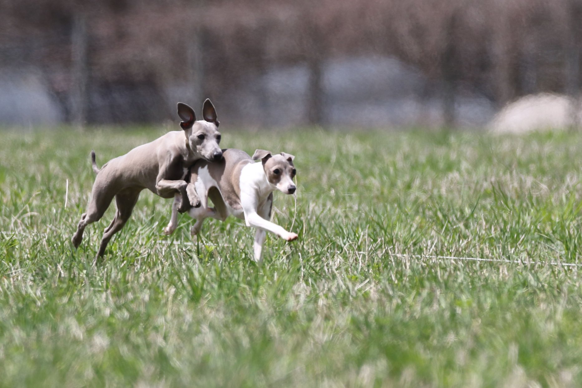 Italian Greyhound puppies running in practice photo courtesy of Clint Ellery