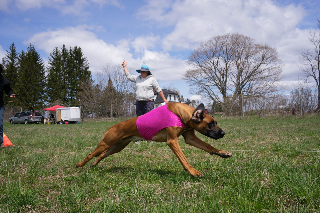 Jesse, the first Ridgeback Best Of Breed in CKC lure coursing in Canada!   photo courtesy of Siri Thompson