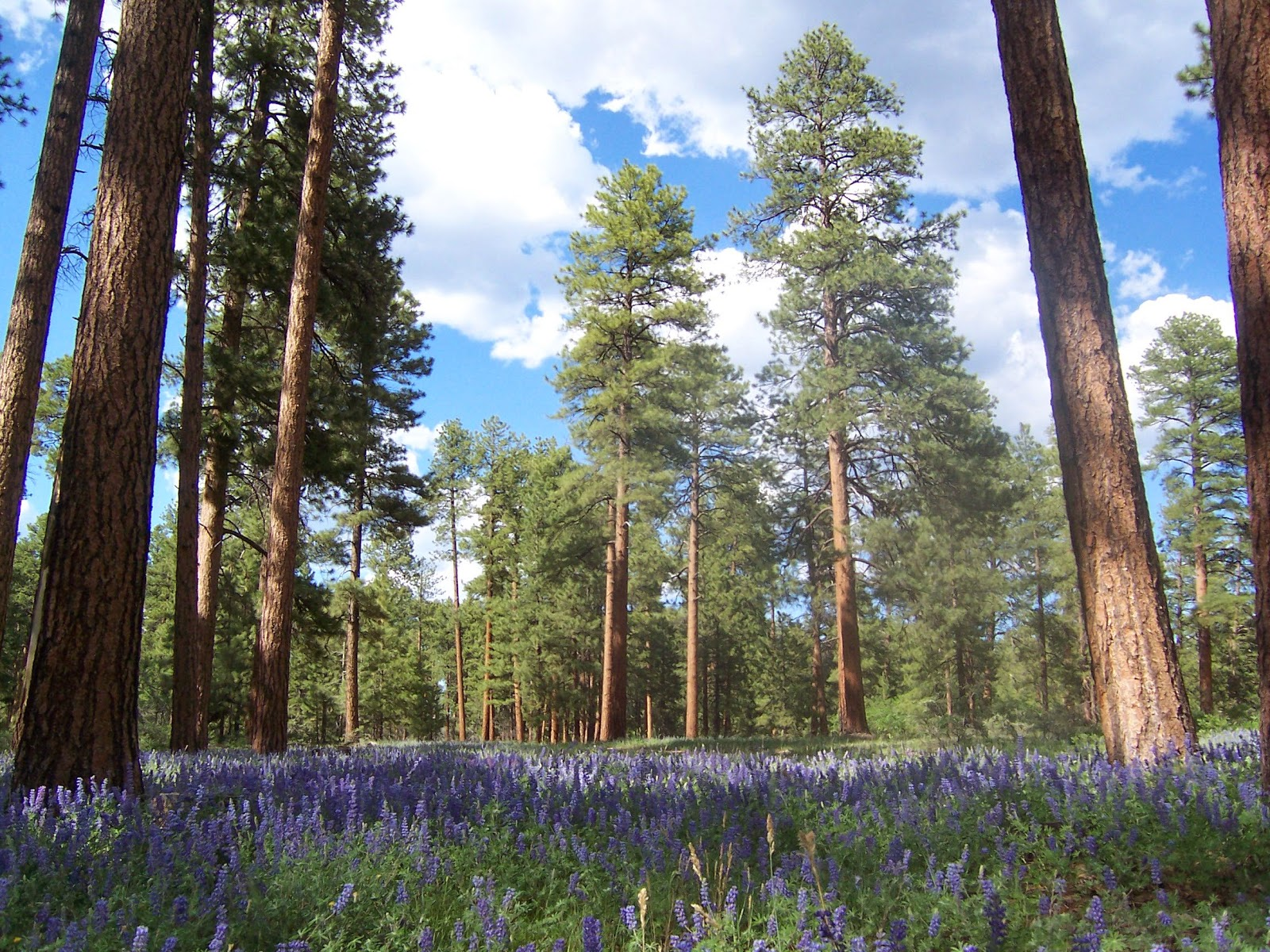 ponderosa-pine-tree.jpg