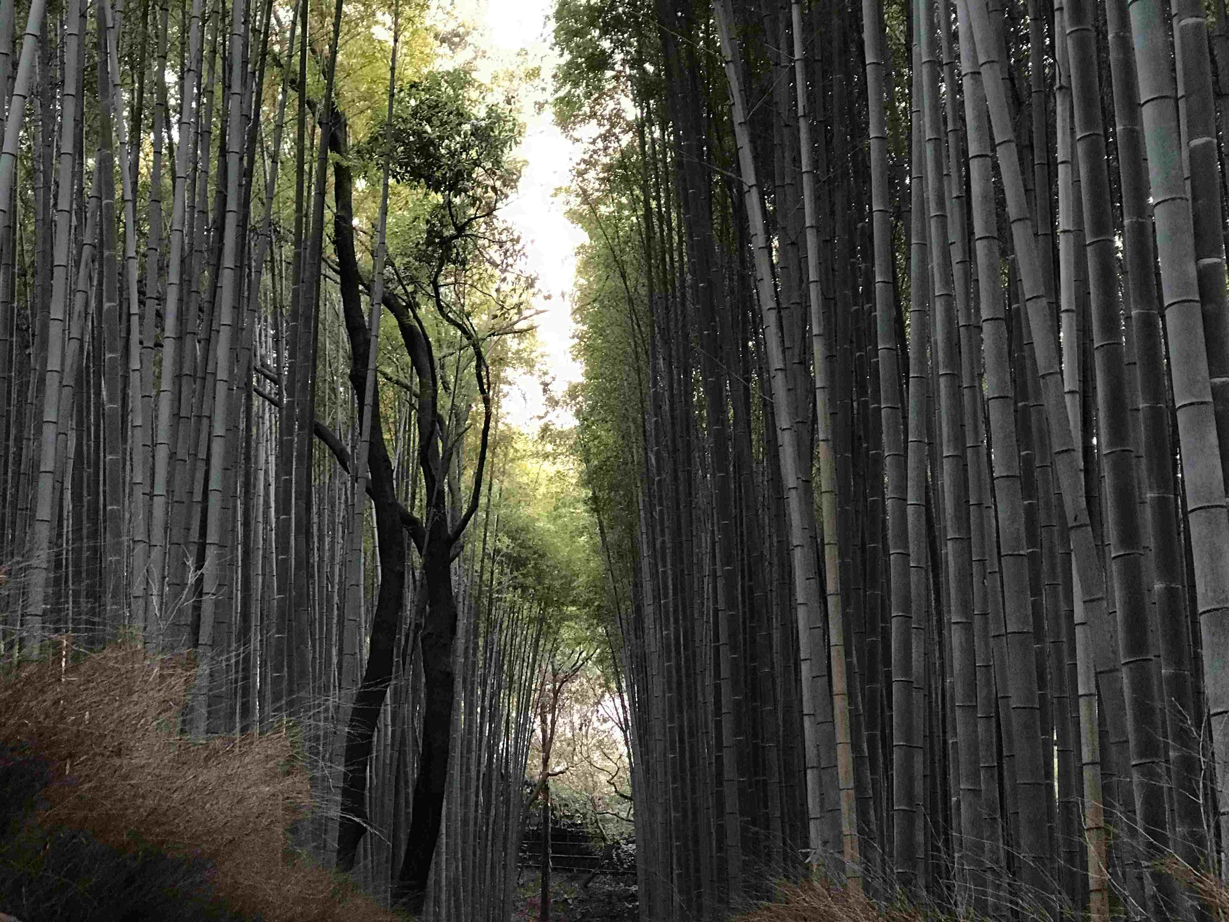 The bamboo forest before sunset
