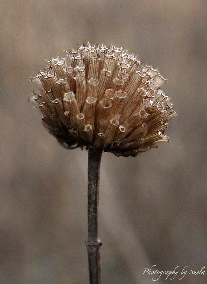 suella-macro-flower.jpg
