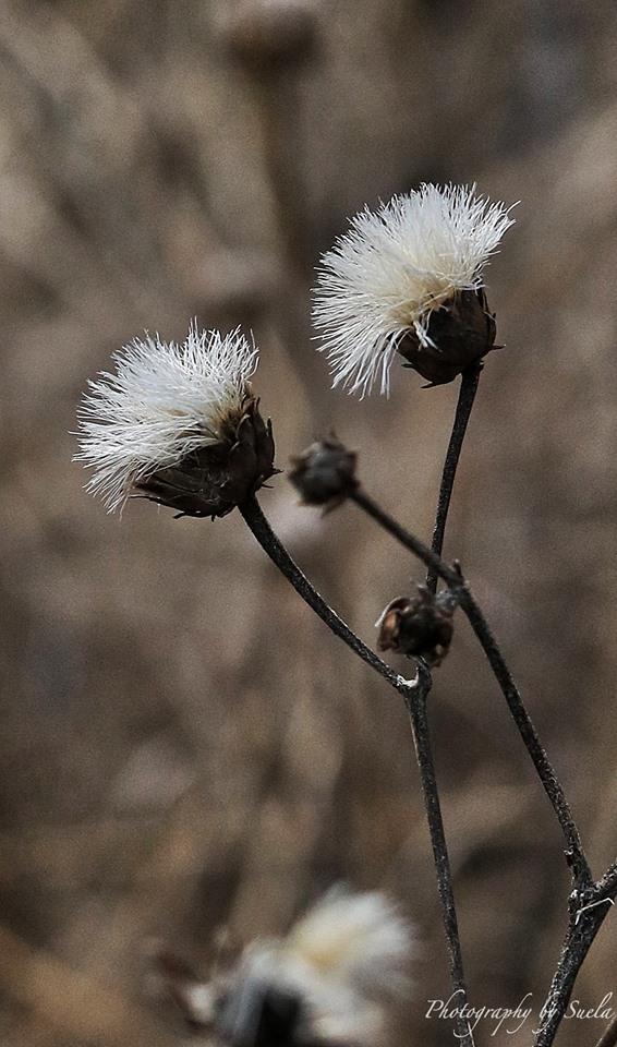 suella-macro-white-flower.jpg