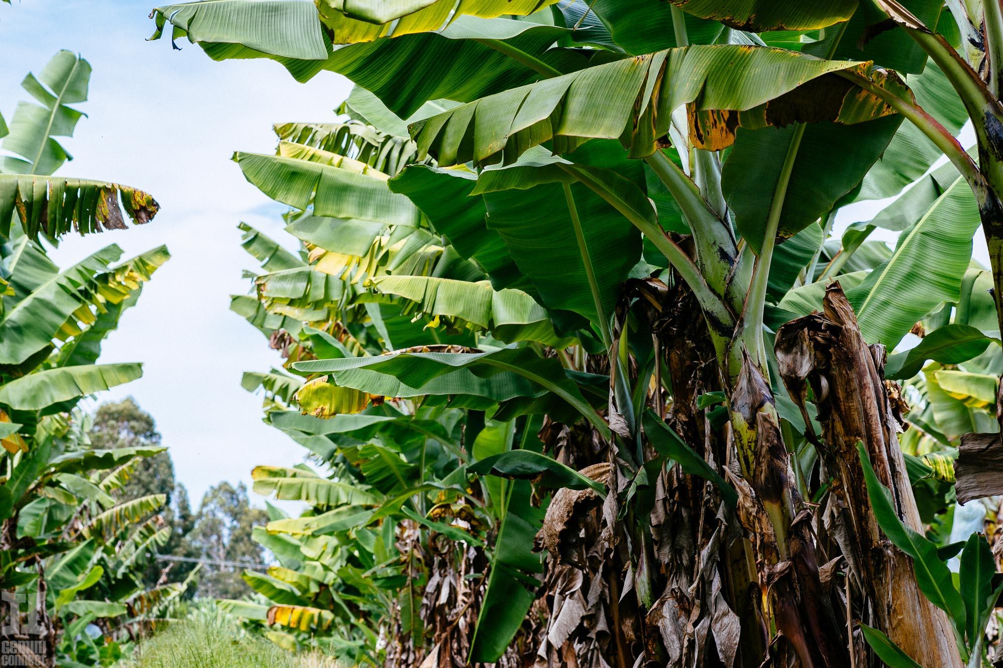 Hamakua-Bananas-9.jpg