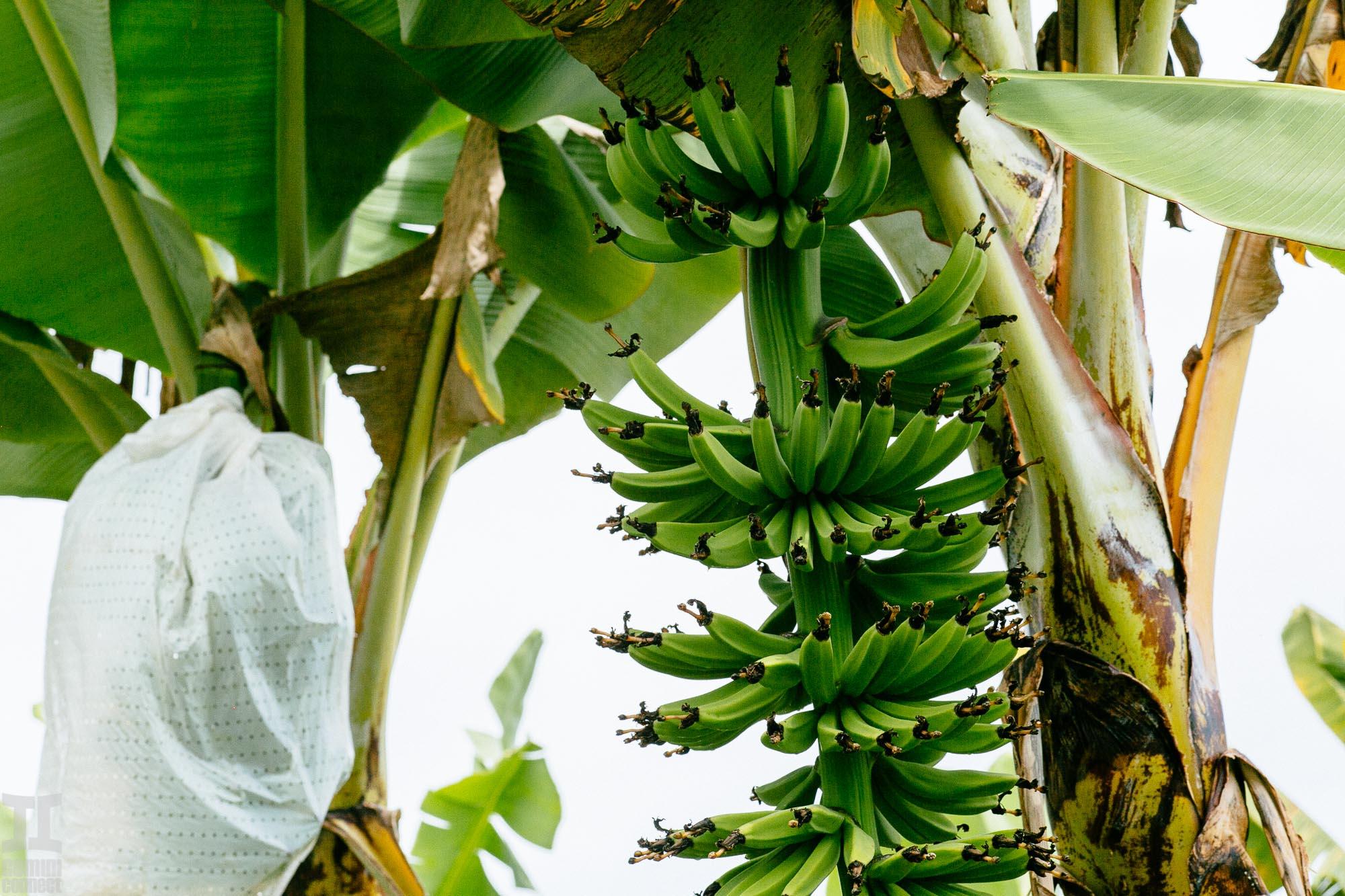 Hamakua-Bananas-8.jpg
