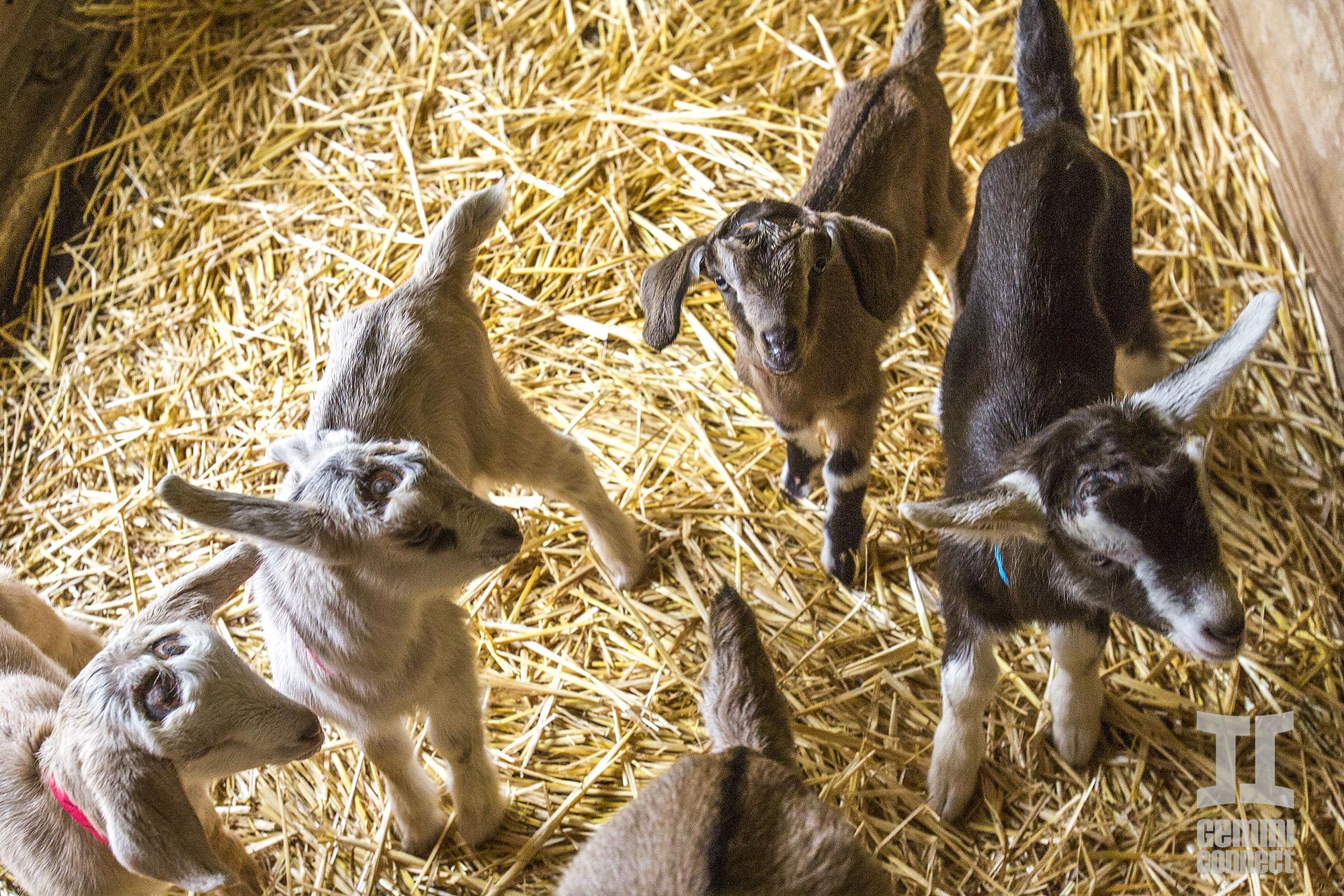 Goat-02.jpg