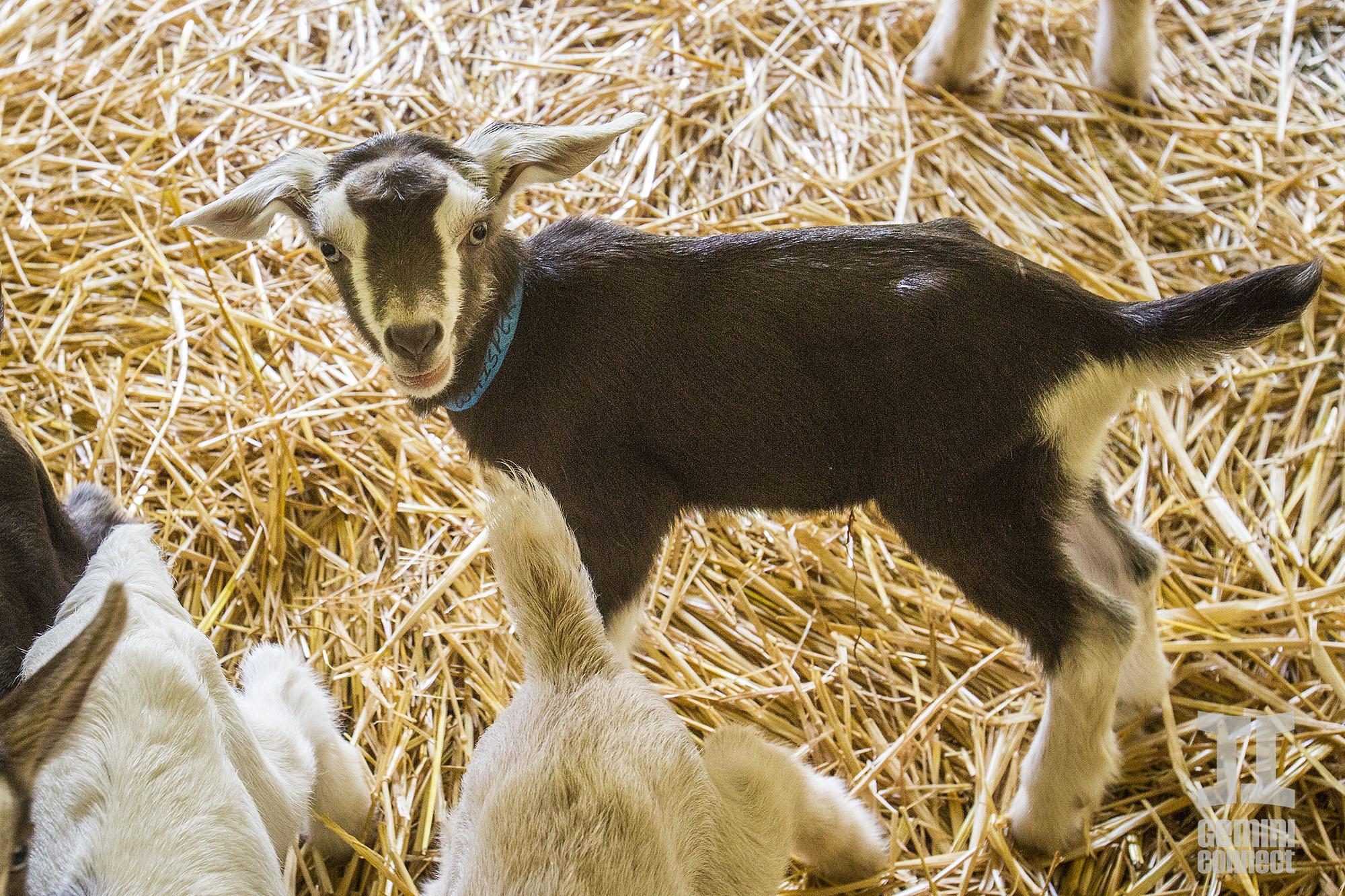 Goat-04.jpg