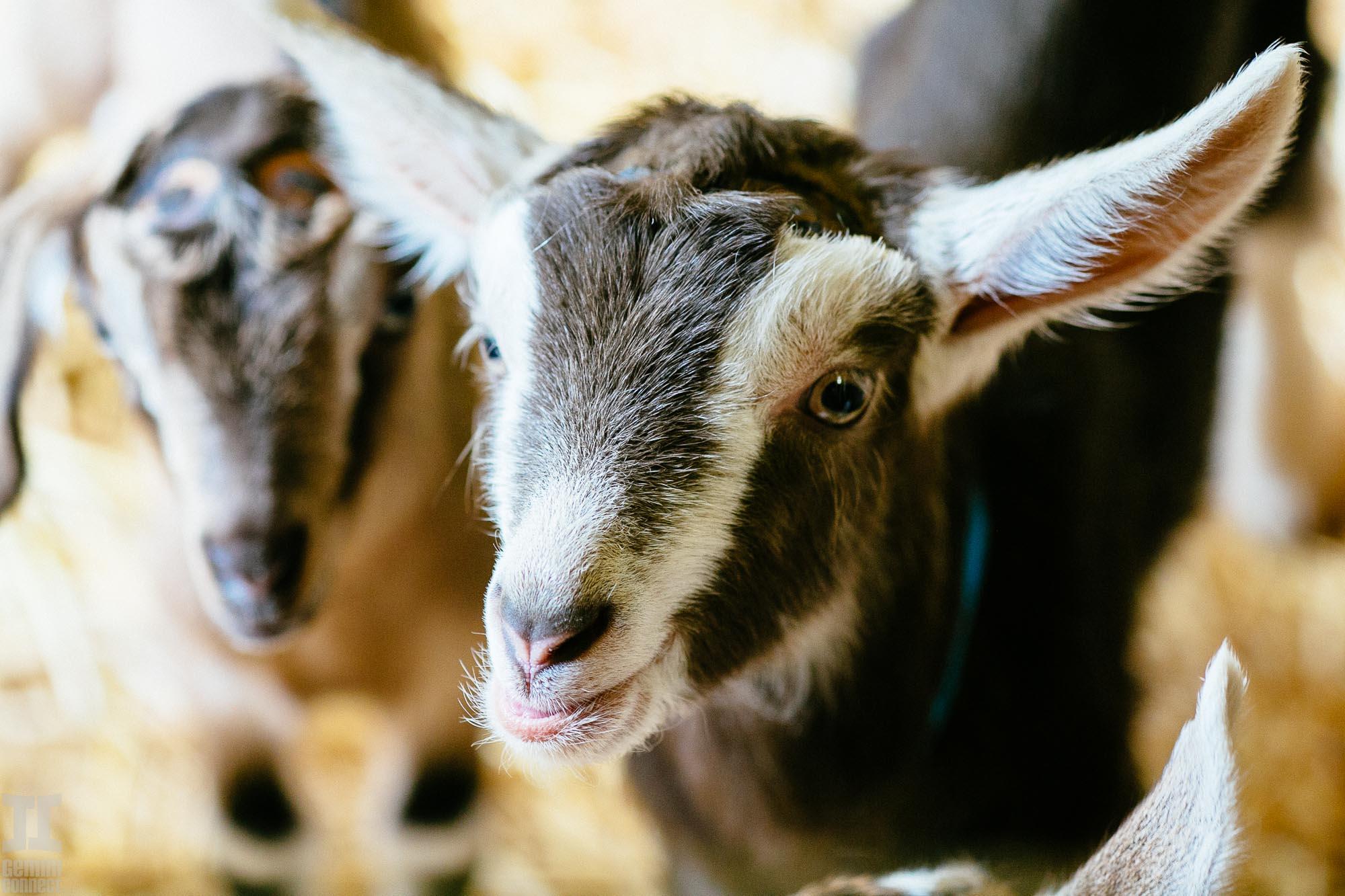 Goat-9.jpg