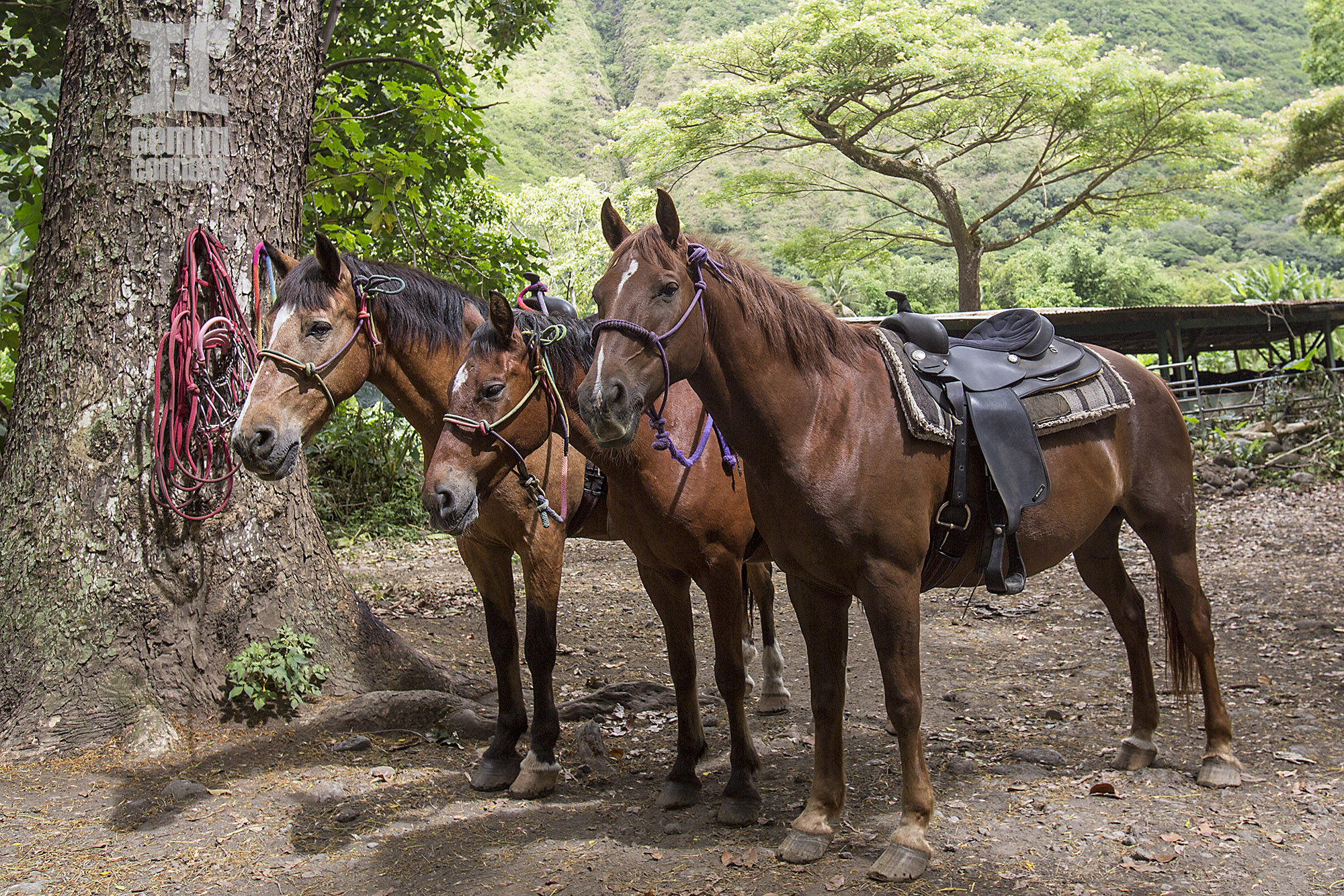 GC-Waipio-Valley-Horseback-Riding-022.jpg