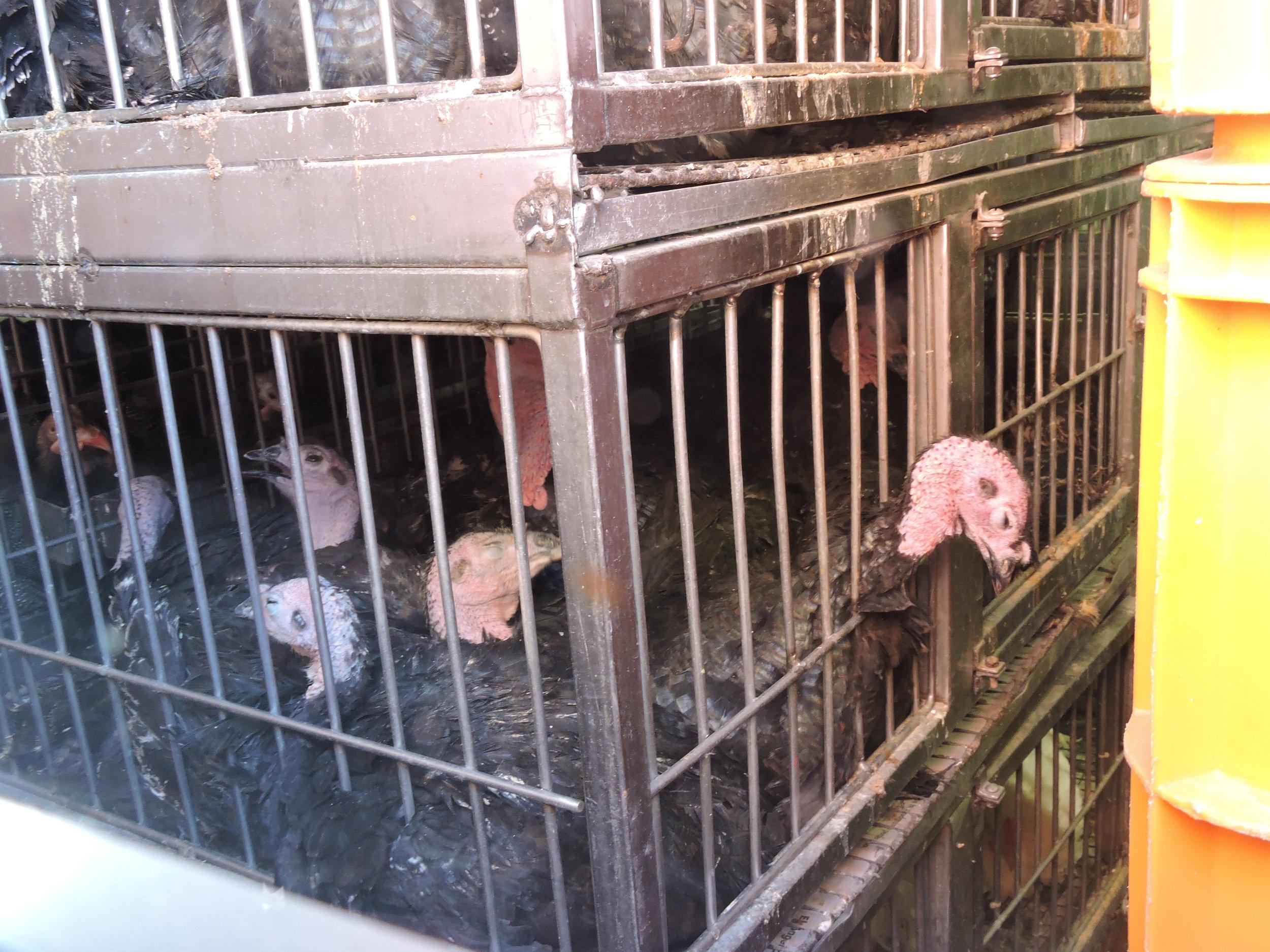 NY Farm Animal Save