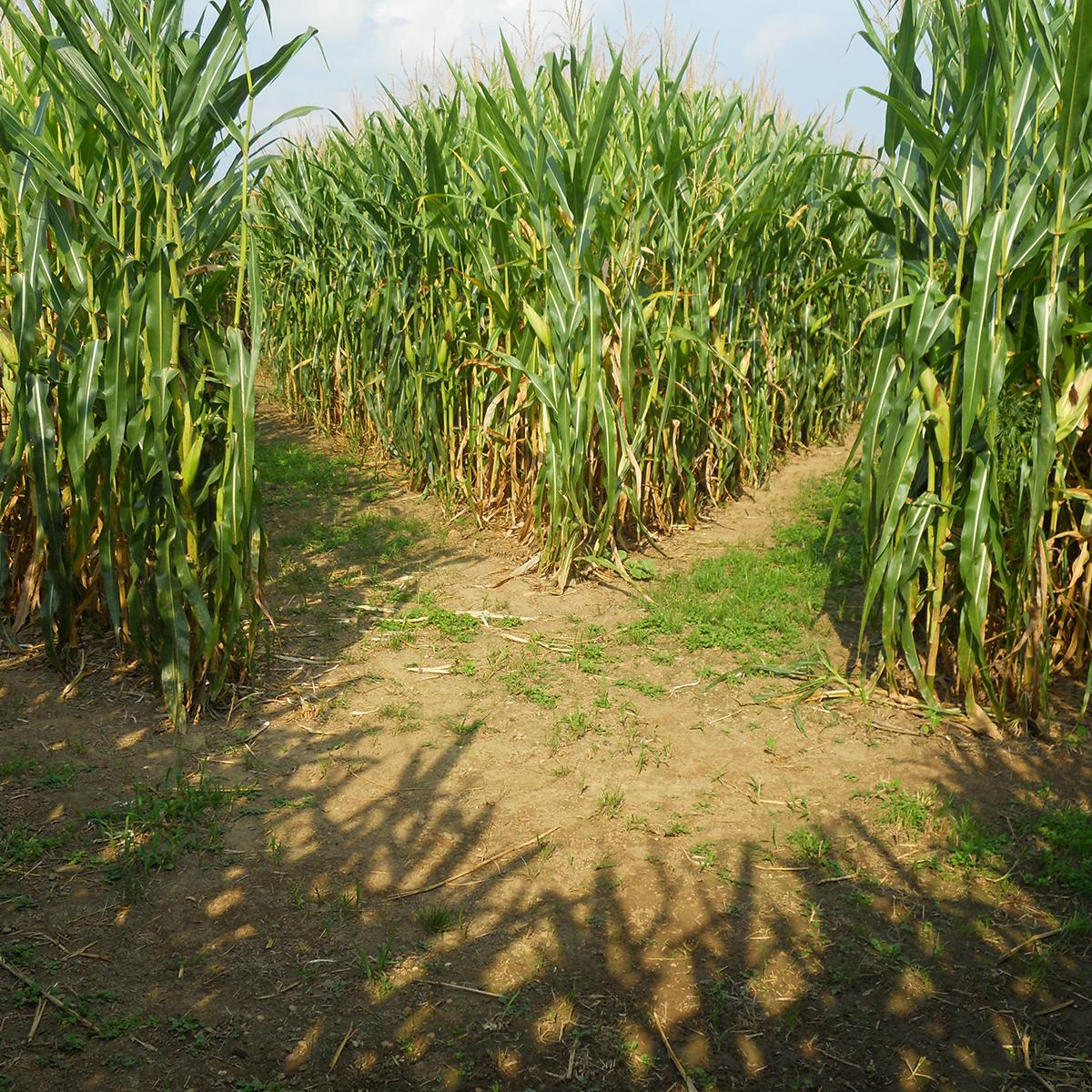 Big Corn Maze