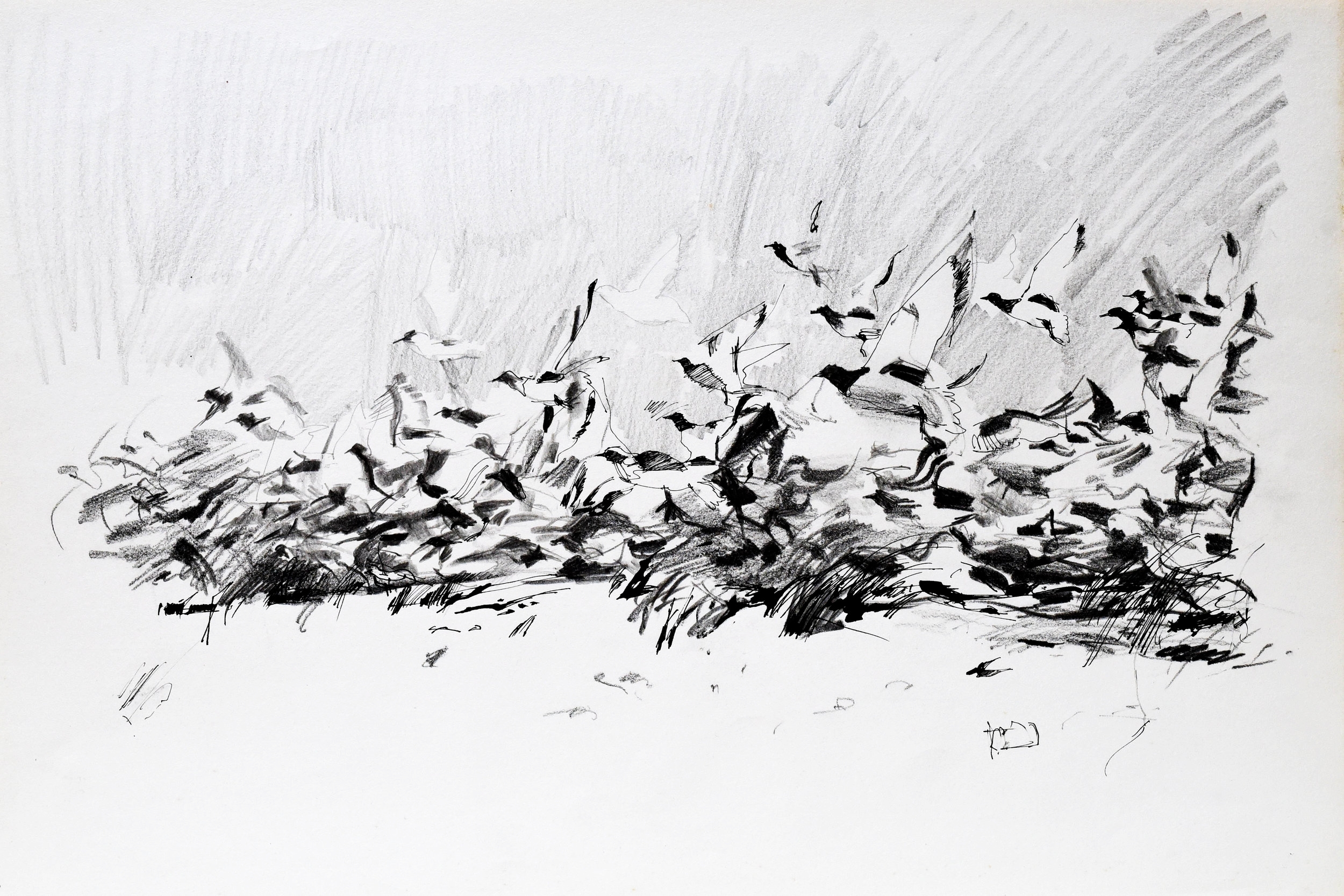 Drawing of birds taking off in pencil and charcoal on art paper
