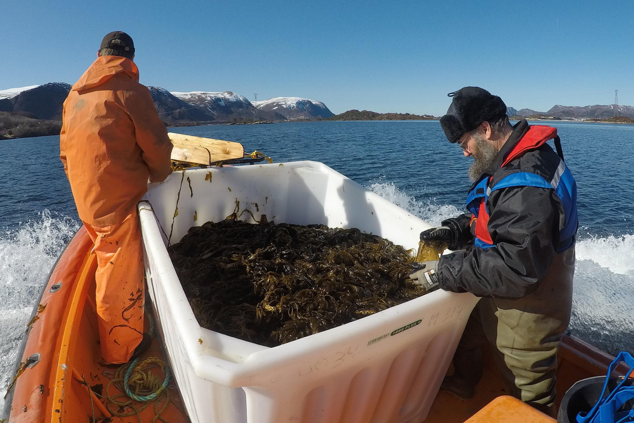First harvest of winged kelp (Alaria esculenta) from Skarveskjæret