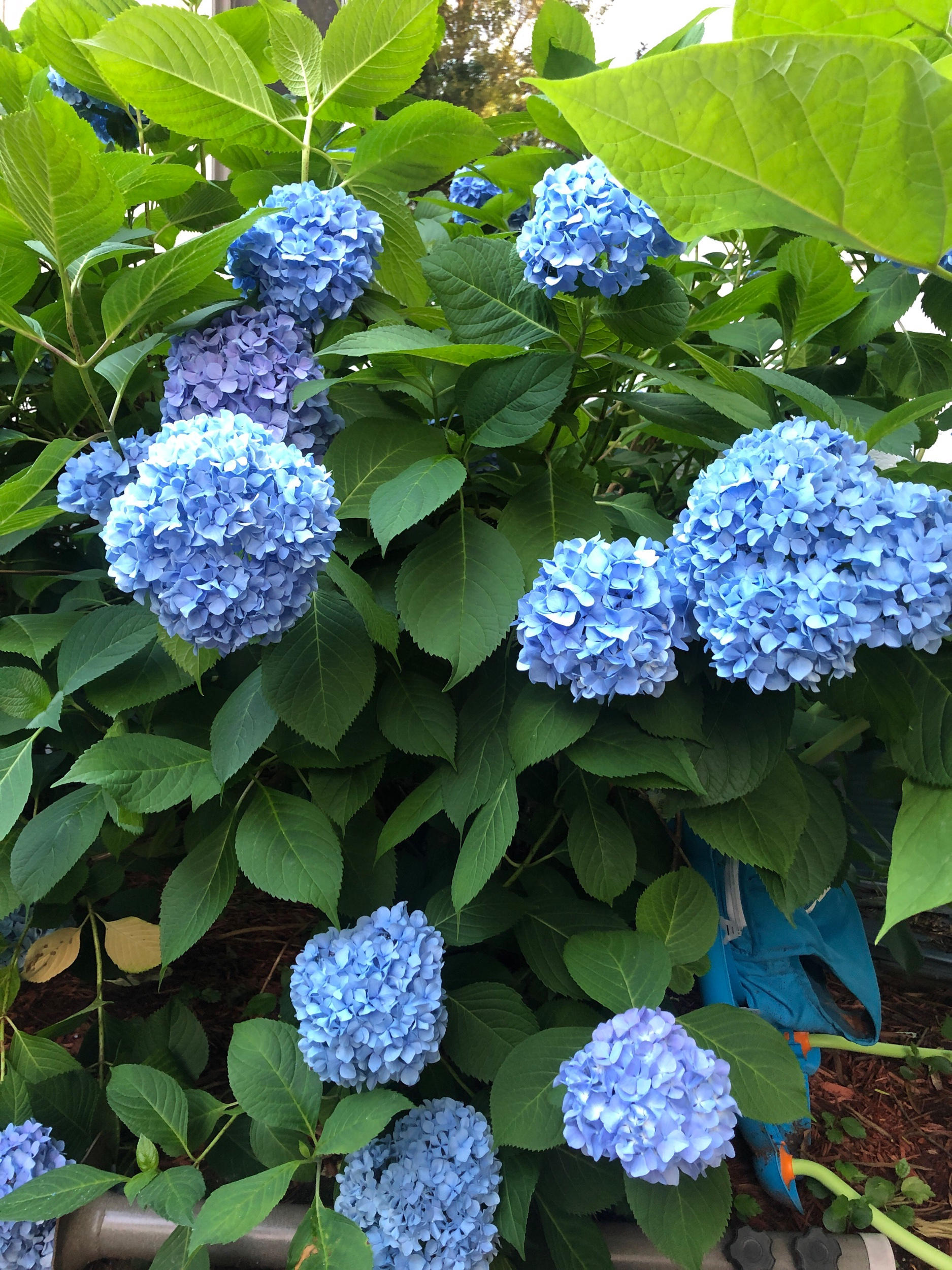 Our summer hydrangeas in full bloom are <3333333