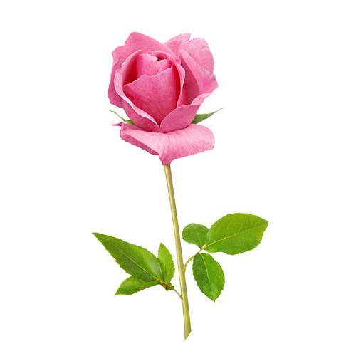 Elizabeth House Rose logo.png