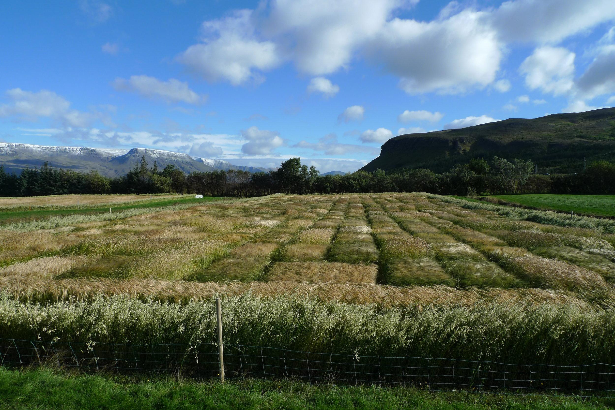 PPP barley field trial Iceland September 2012 MG.JPG