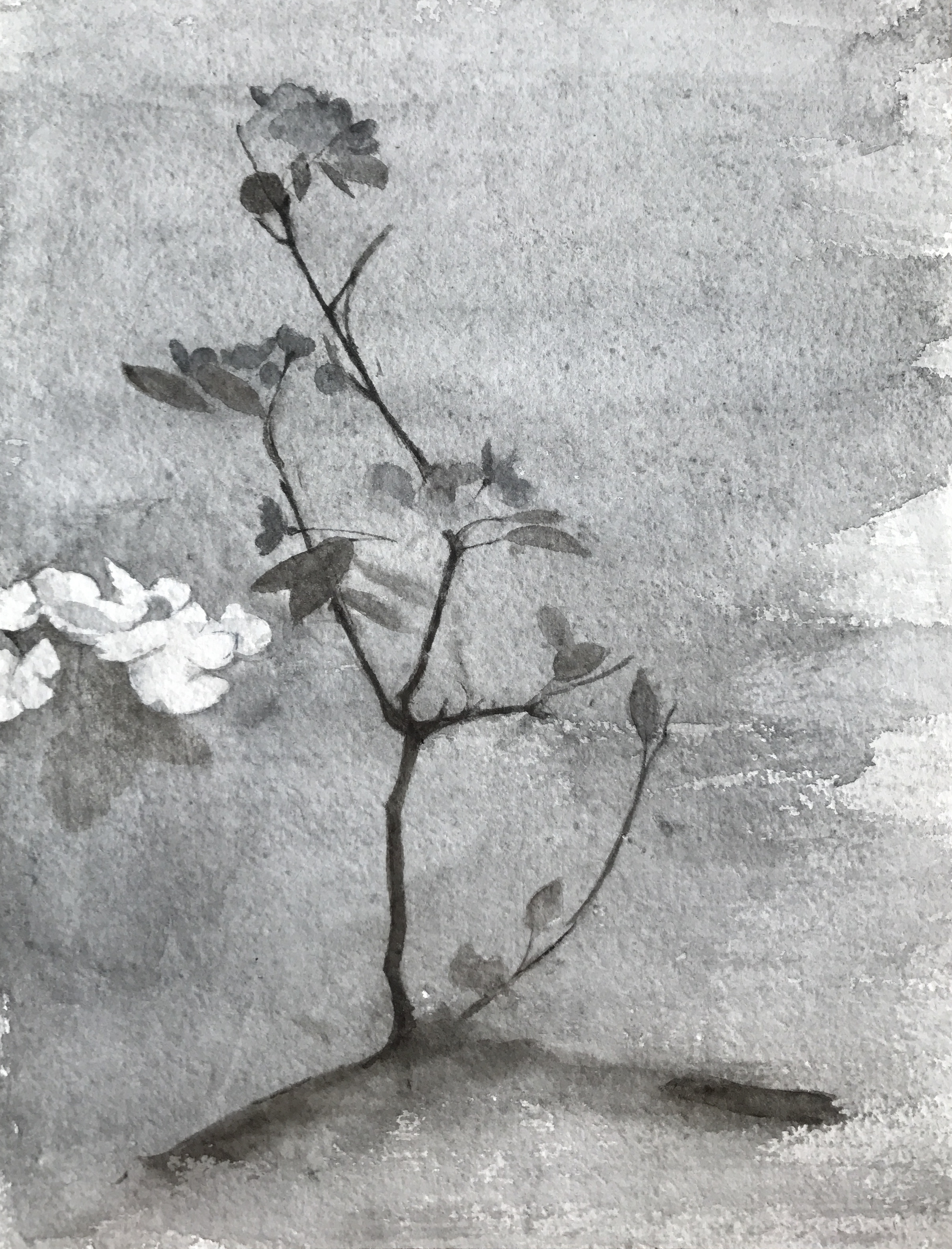 </strong><em>Pear Blossom</em> <br/>2016<br/>watercolour<br/>42 x 52cm<strong>