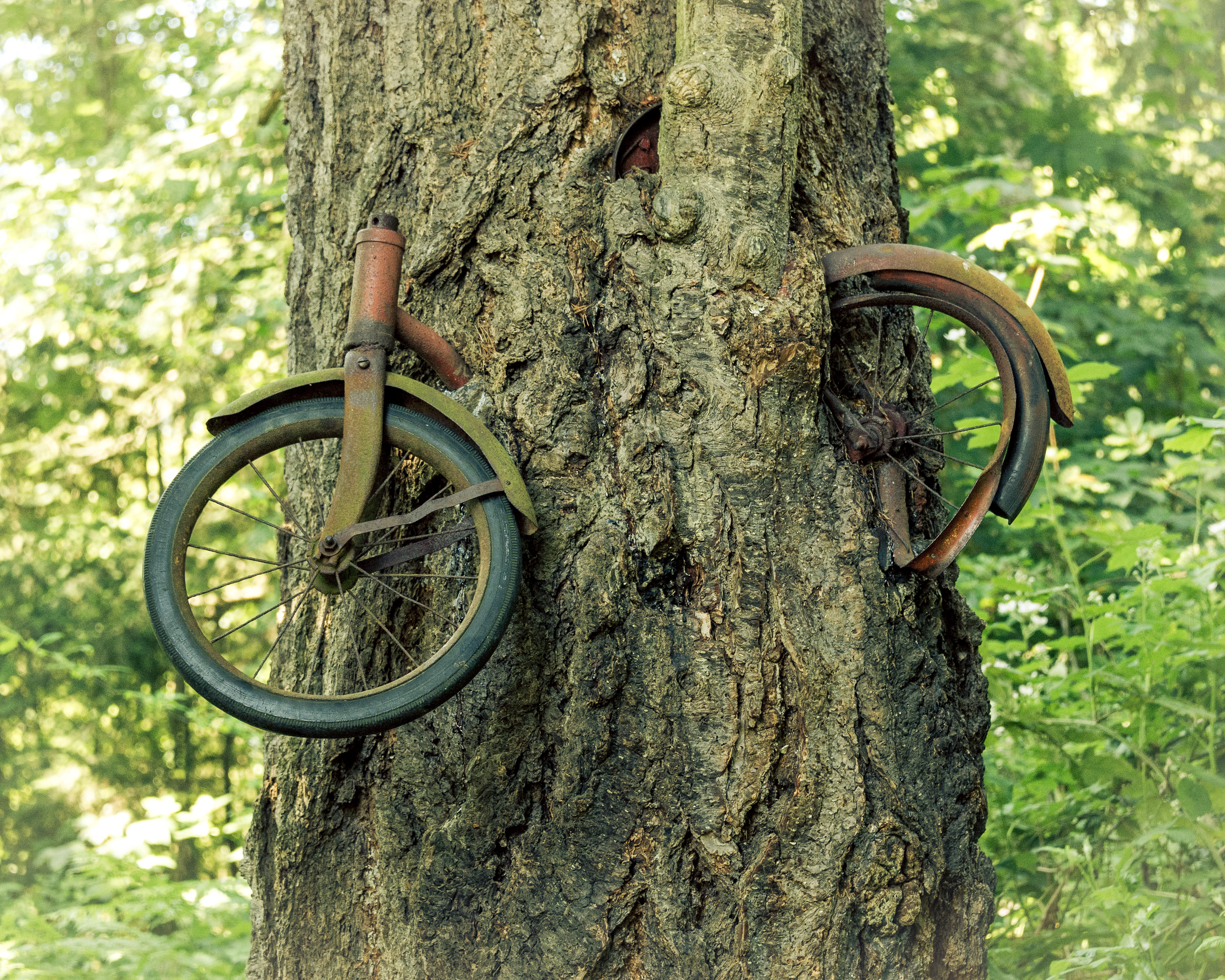 Vashon's famous bike in the tree. We know how it got there.  (Photo Credit: Steve Tosterud)