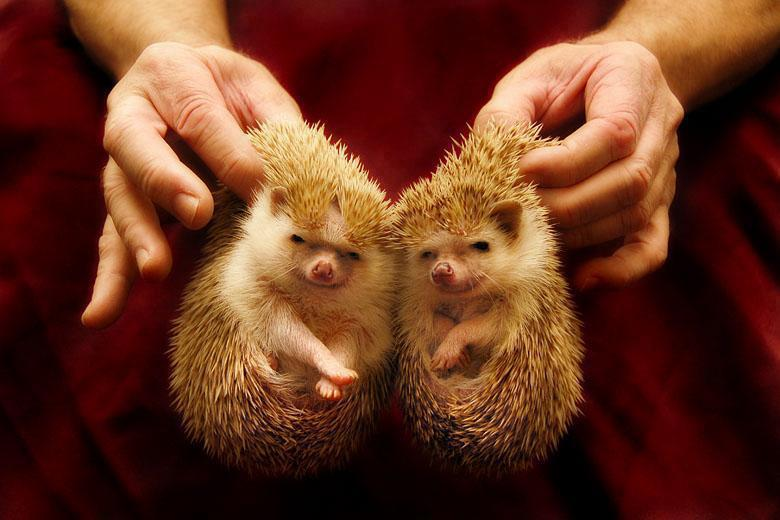 hedgehogs.jpg