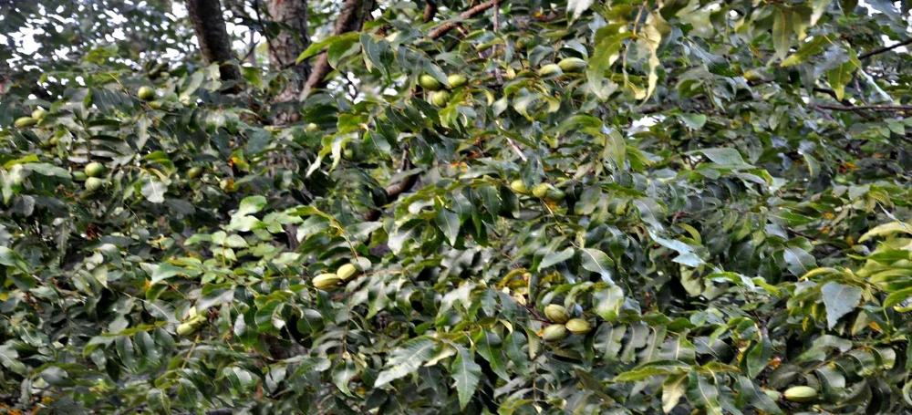 pecans_on_tree
