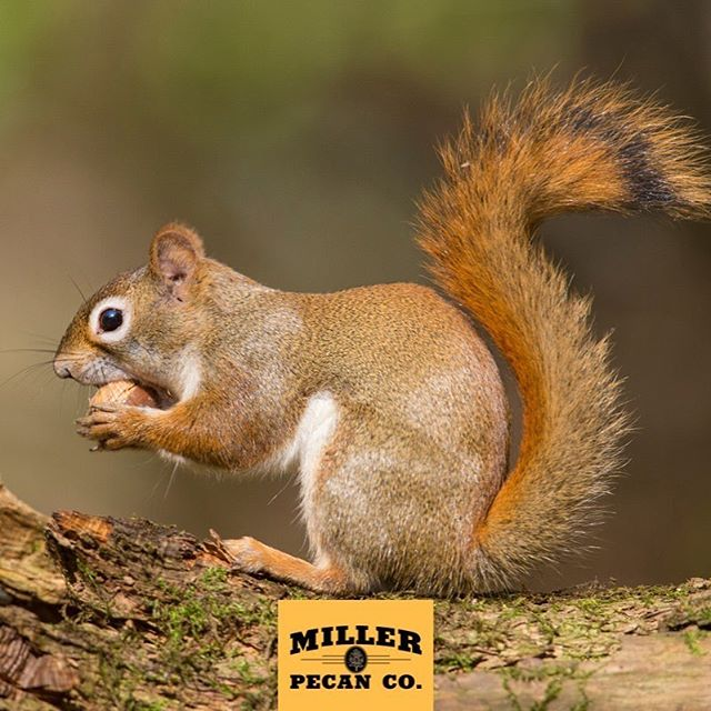 Apparently, we aren't the only ones who love farm fresh Oklahoma pecans... . . . #nuts #pecans #farmfresh #oklahoma #oklahomagrown #madeinoklahoma #healthy #lowcarb #foodservice #squirrel #nature #paleo #keto #goodfood #foodfuel