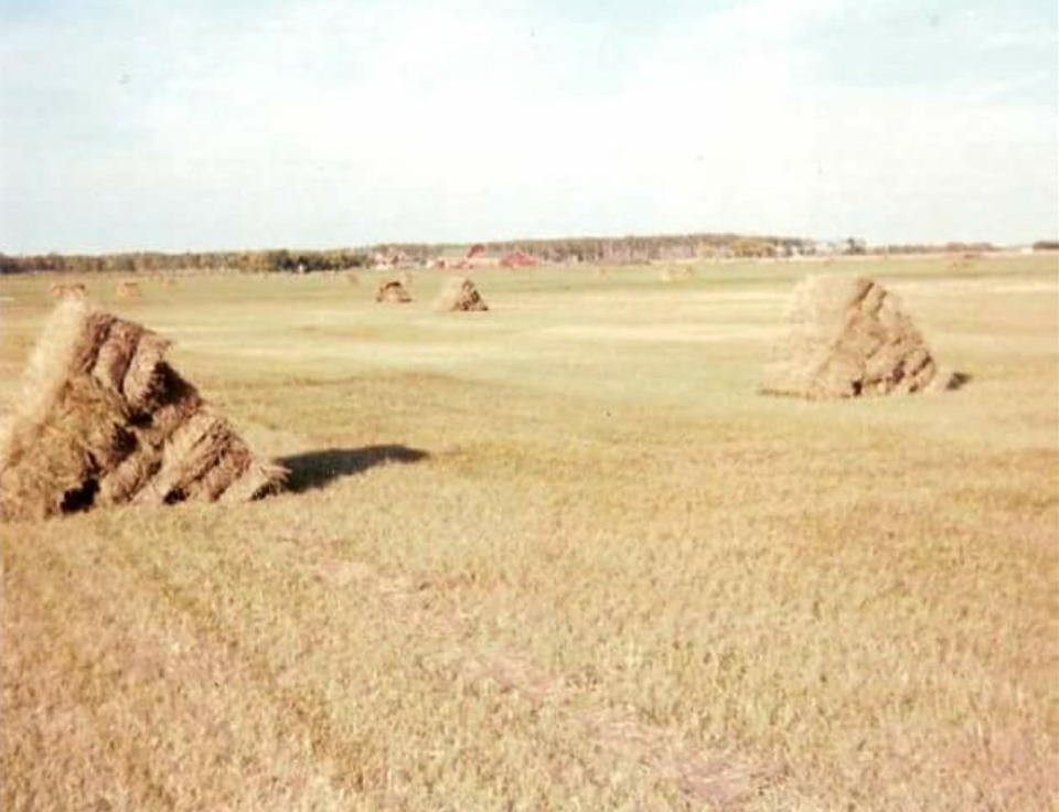 Hay Stooks behind Rosaire's barn 1989
