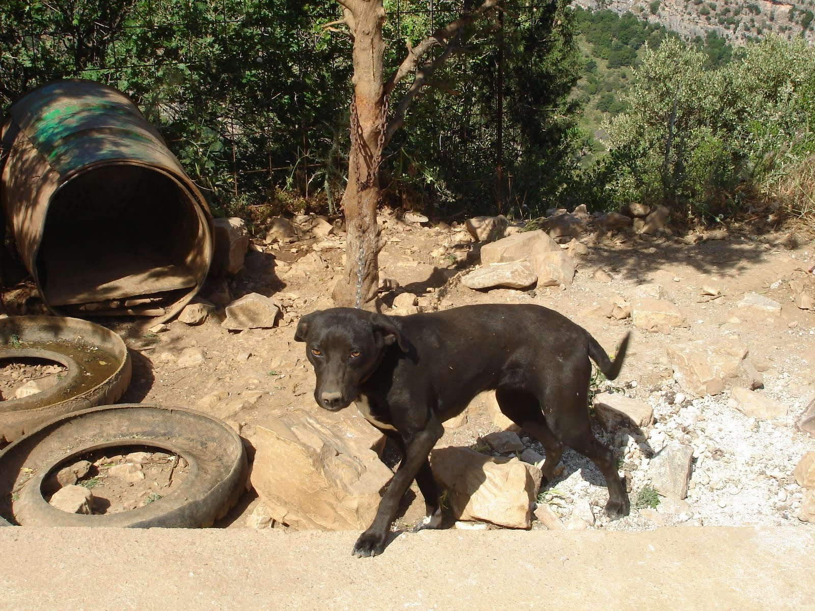 A 'barrel dog' outside the village of Droustoula, Ikaria, in its 'natural' environment: a tin barrel, a chain and filthy water inside an old tire