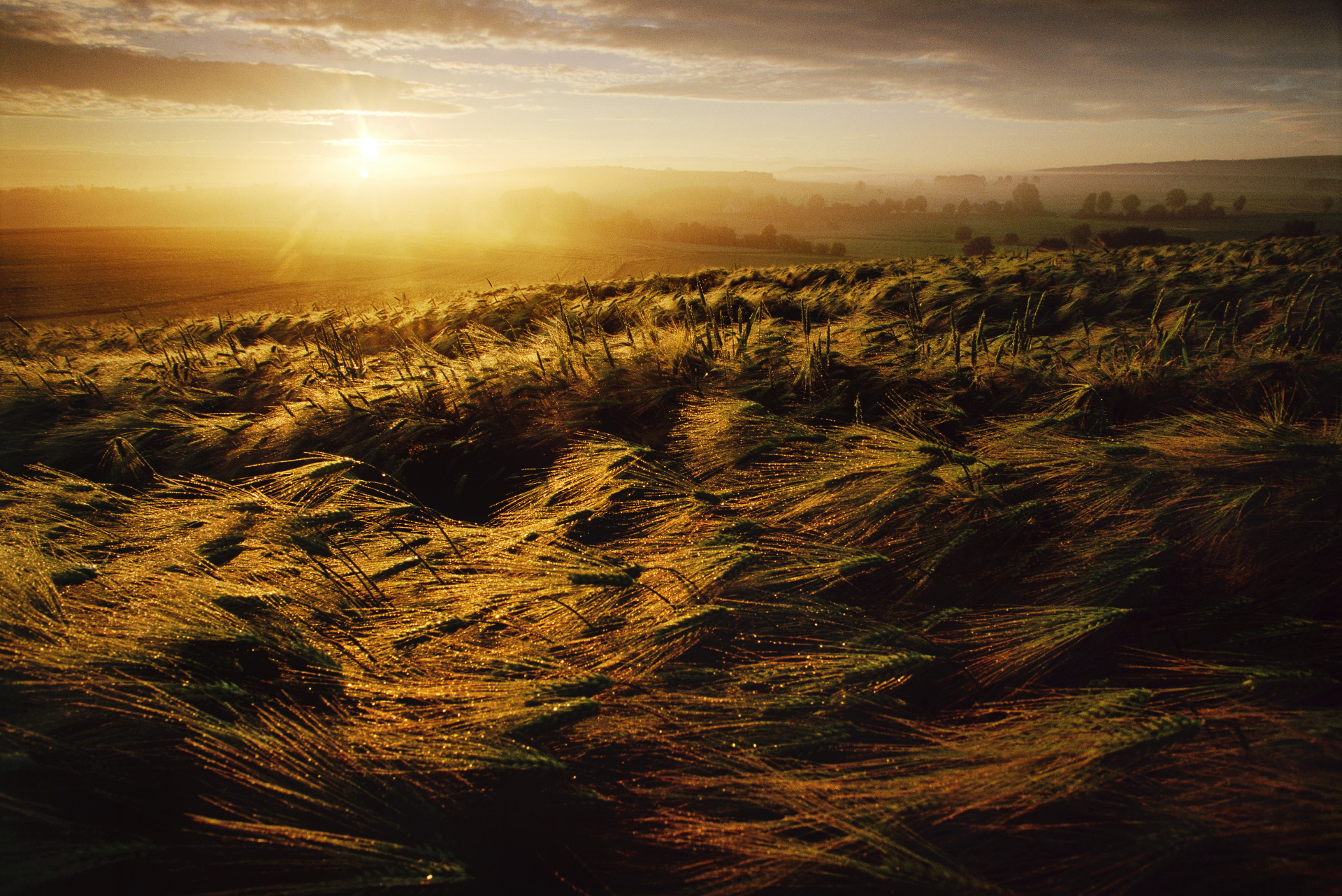 A barley field at sunrise, just outside Alsfeld, a small German town. Germany is the among the top producers of barley worldwide.  Alsfeld, Germany