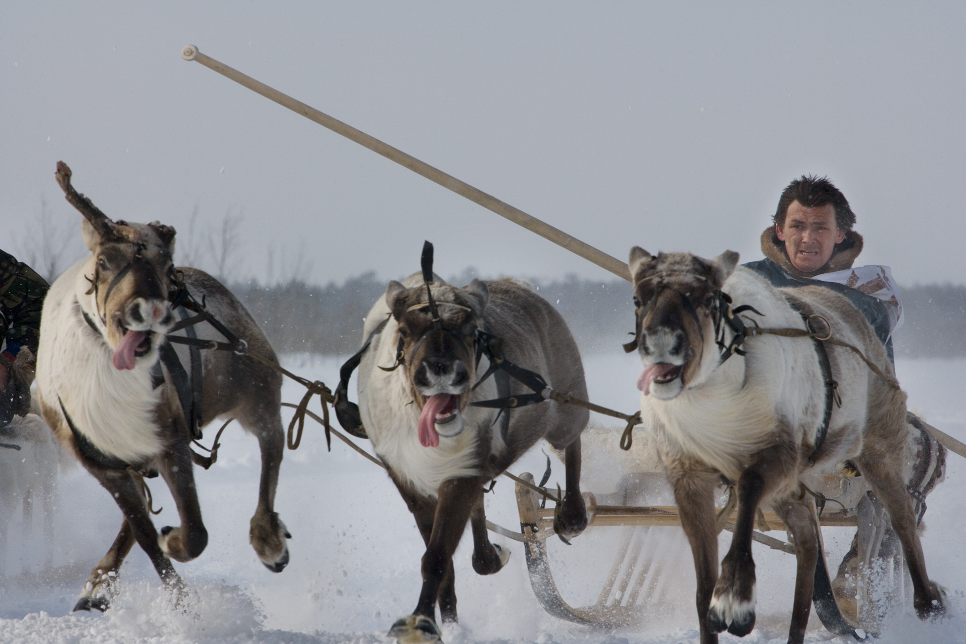 "Reindeer sled racing is a key event of ""Fishing and Hunting Day"", celebrated annually throughout the Khanty-Mansiysk region.  Russkinskaya, Russia"