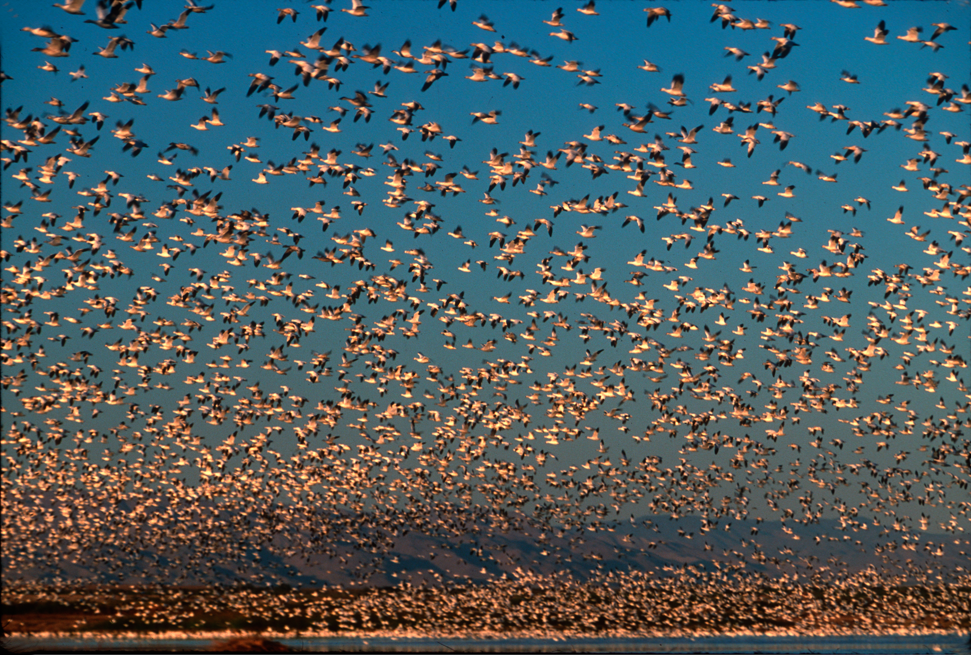 These snow geese are among the thousands of birds that use the Salton Sea for migration along the Pacific Flyway or as a wintering site.  Calipatria