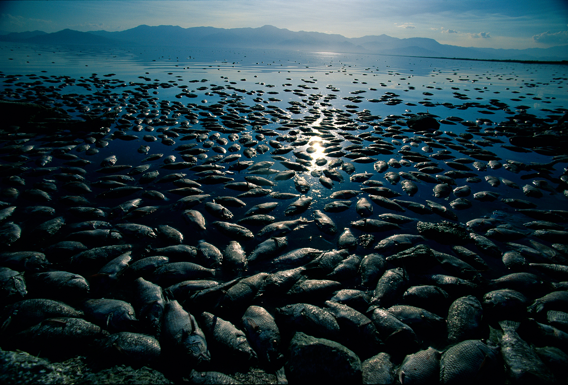 Massive fish die-offs struck the Salton Sea in the late 1990's, with an estimate of nearly 8 million tilapia dying on a single hot day in August 1999.  Northshore