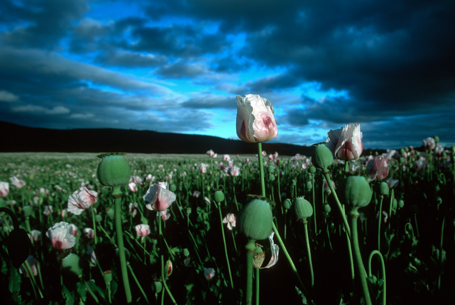 Tasmania grows about 50% of the world's legal crop of poppy seeds for medicinal use.  Richmond