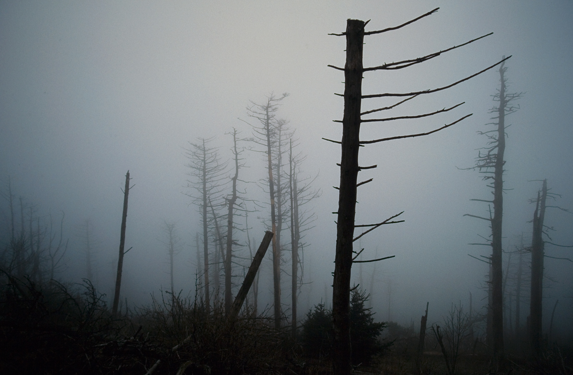 Dying Fraser Firs, a common result of aphid infestation due to air pollution.  Clingman's Dome, Tennessee
