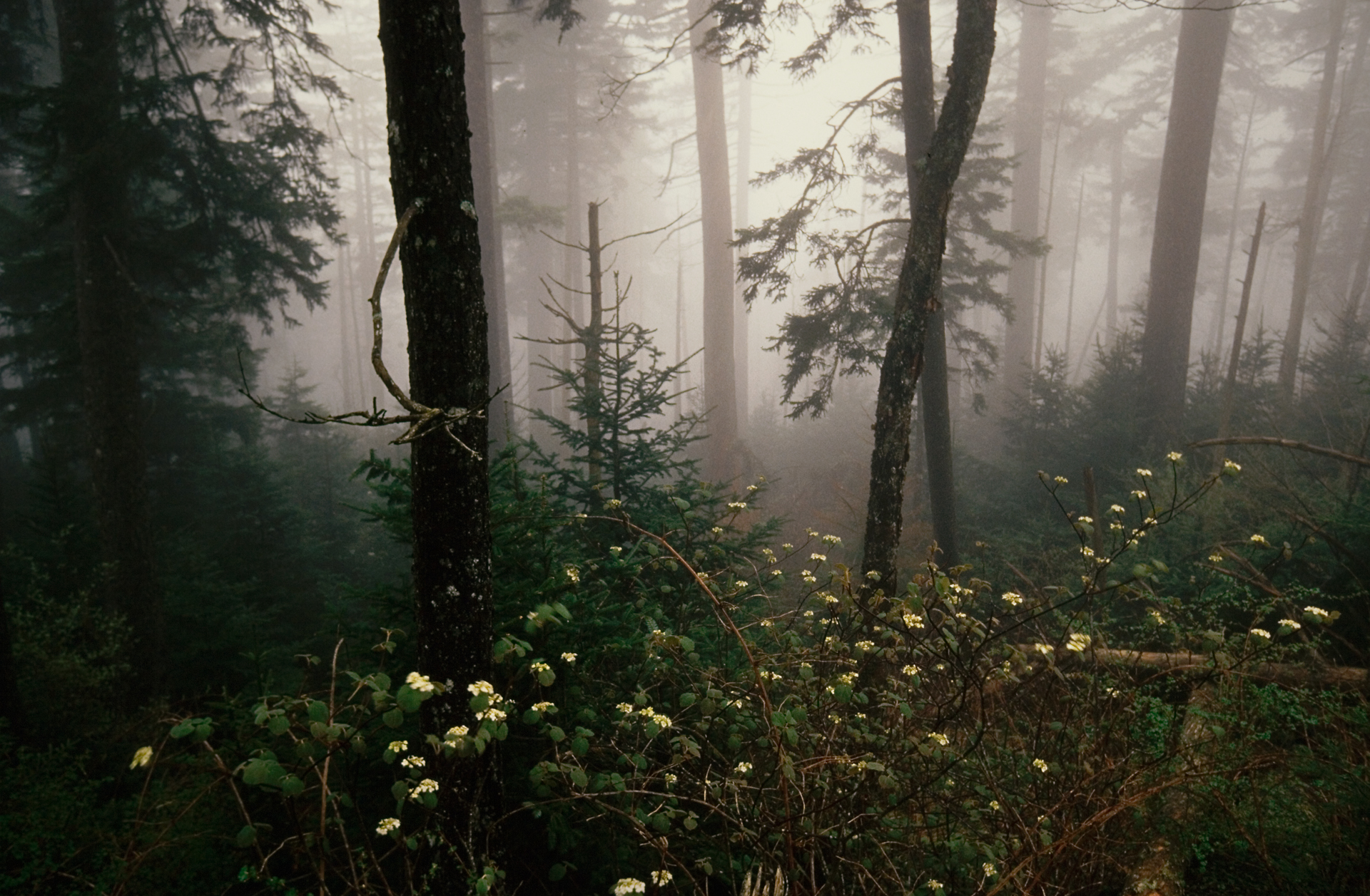 Blossoms thrive amongst fallen trees in foggy weather.  Clingman's Dome Road, Tennessee