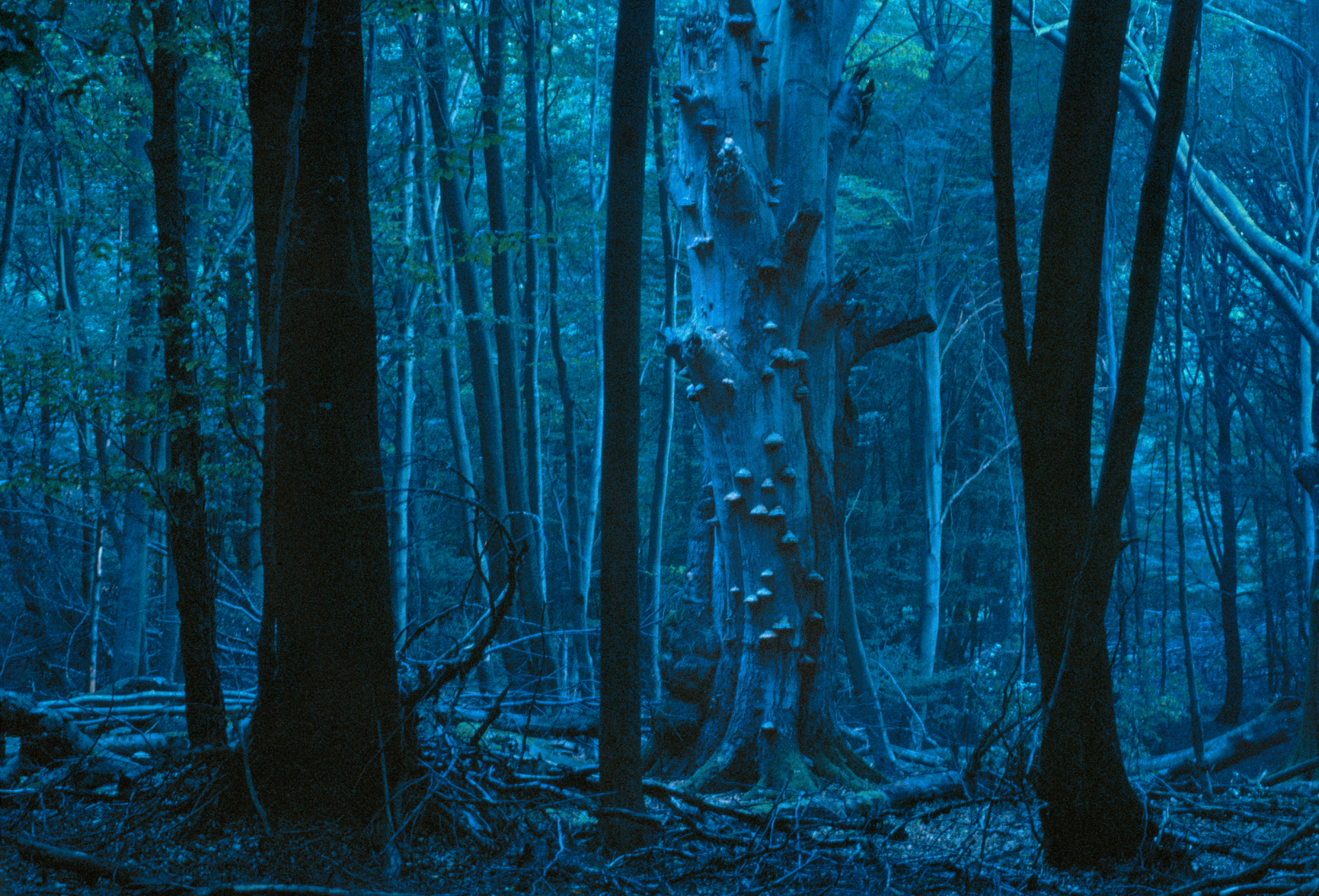 An ancient beech haunts a gloomy forest.  Reinhardswald Mountains Germany