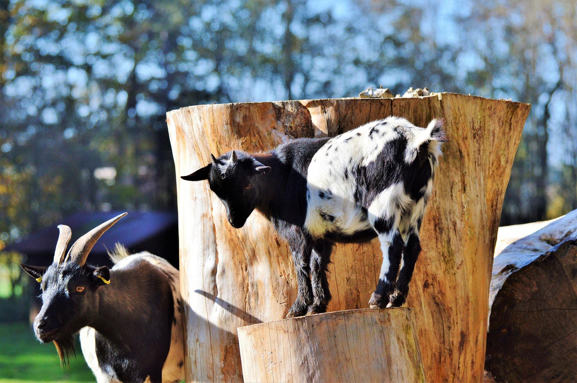 goat-3023732_1920.jpg