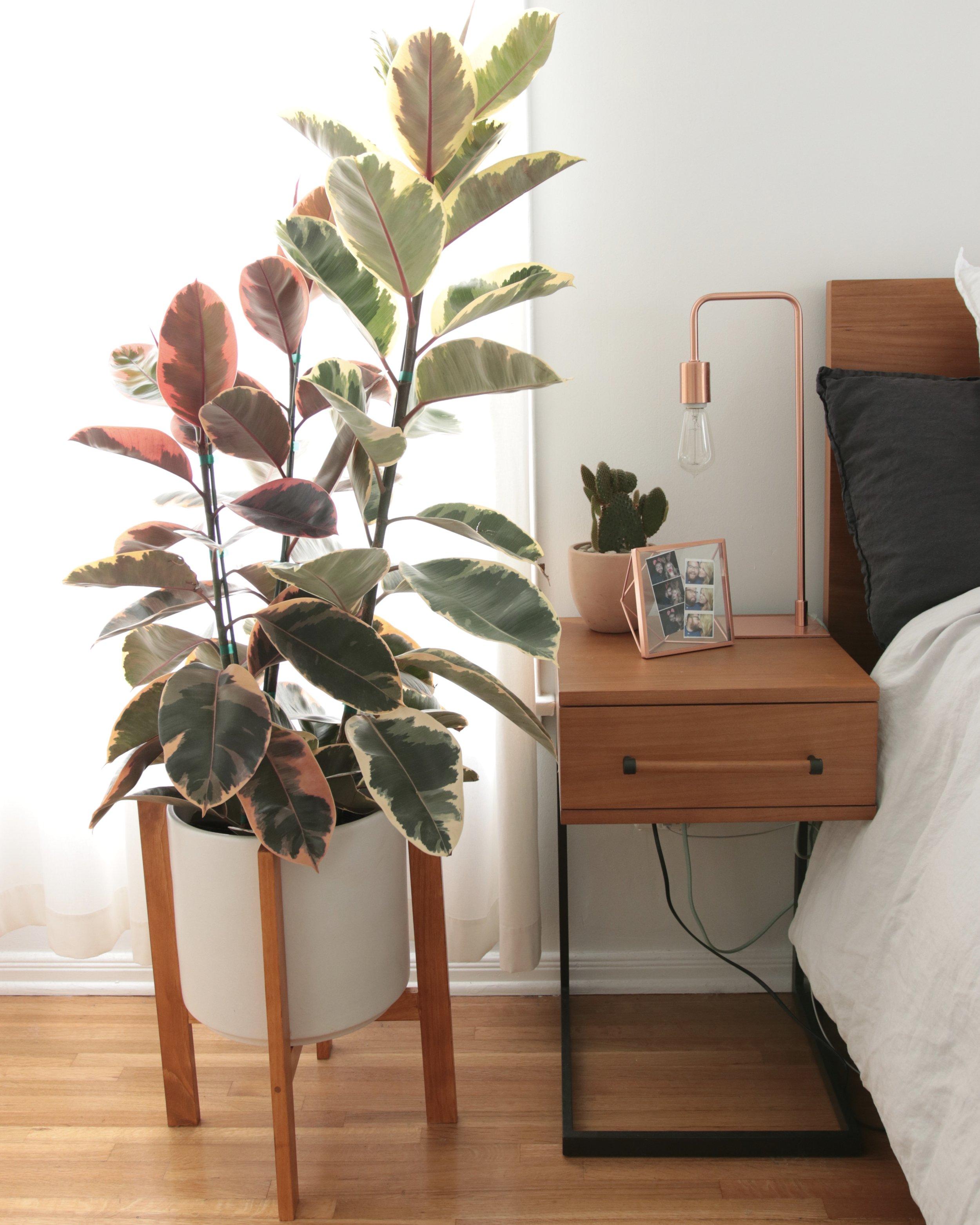 variegatedrubbertree.jpg