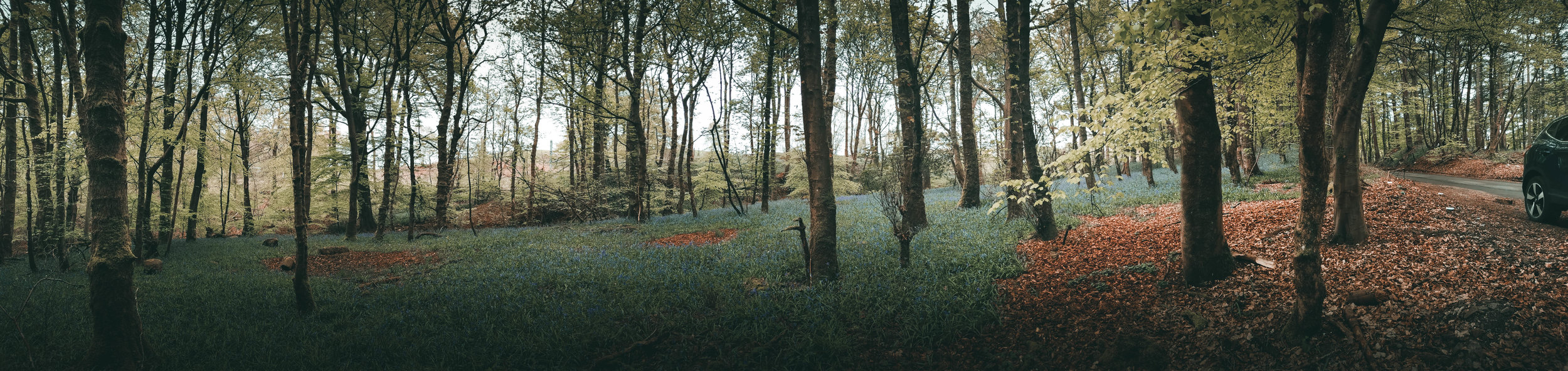 Panoramic image of bluebells in Cumbernauld